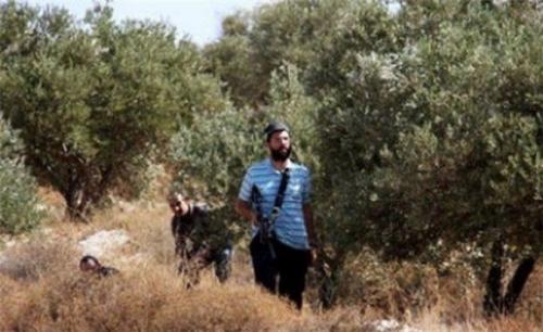 فلسطين.. مستوطنون يسرقون ثمار زيتون