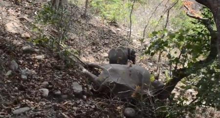 فيديو مؤثر ...فيل صغير يرفض ترك جثة والدته ويحاول إيقاظها