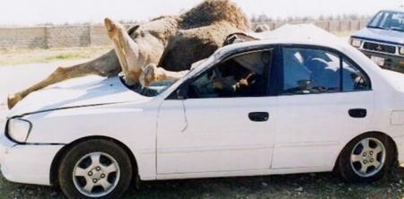 العقبة.. وفاة شخص إثر اصطدام مركبته بحيوان (جمل) بمنطقة بئر مذكور