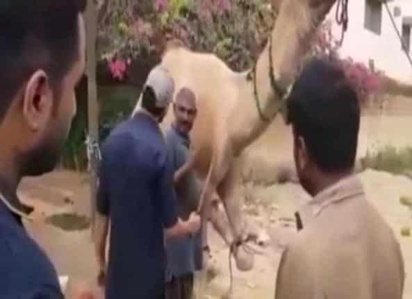 باكستاني حاول ذبح جمل والأخير عاقبه اشد عقاب