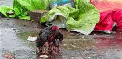 فيديو مؤثّر: دجاجة تحمي صغارها من المطر.. بجناحَيْها!