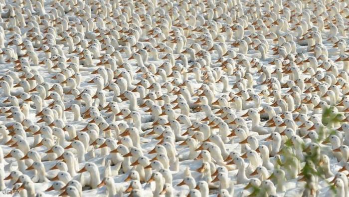 جيش من البط
