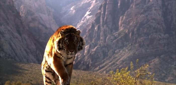نمر ضخم يزرع الرعب في قلوب المحيطين به (فيديو)