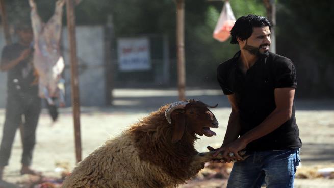 قطر: تجار الماشية يكثفون مستورداتهم من الأردن