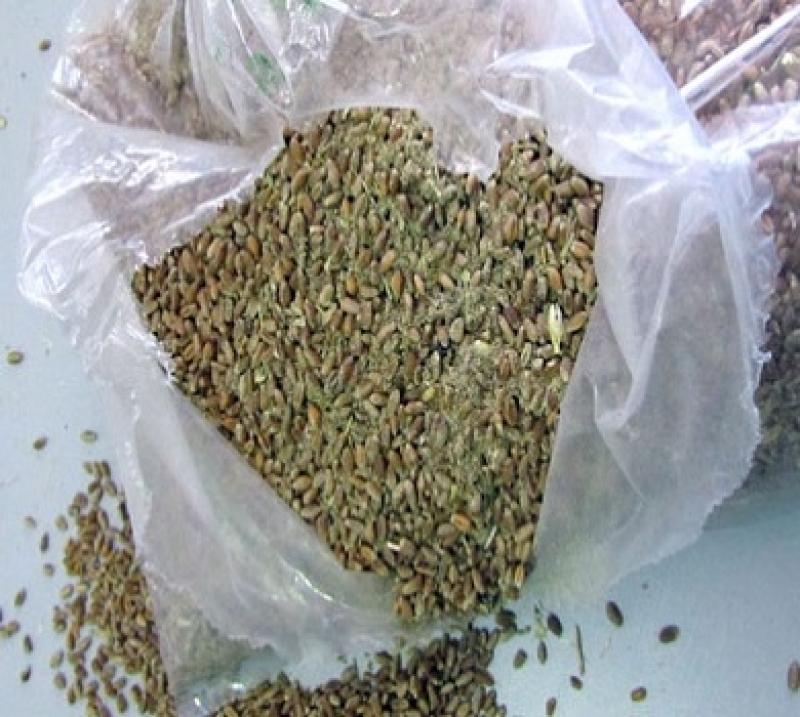 مصدر حكومي .. عفن في منحة القمح اﻻميركية للاردن