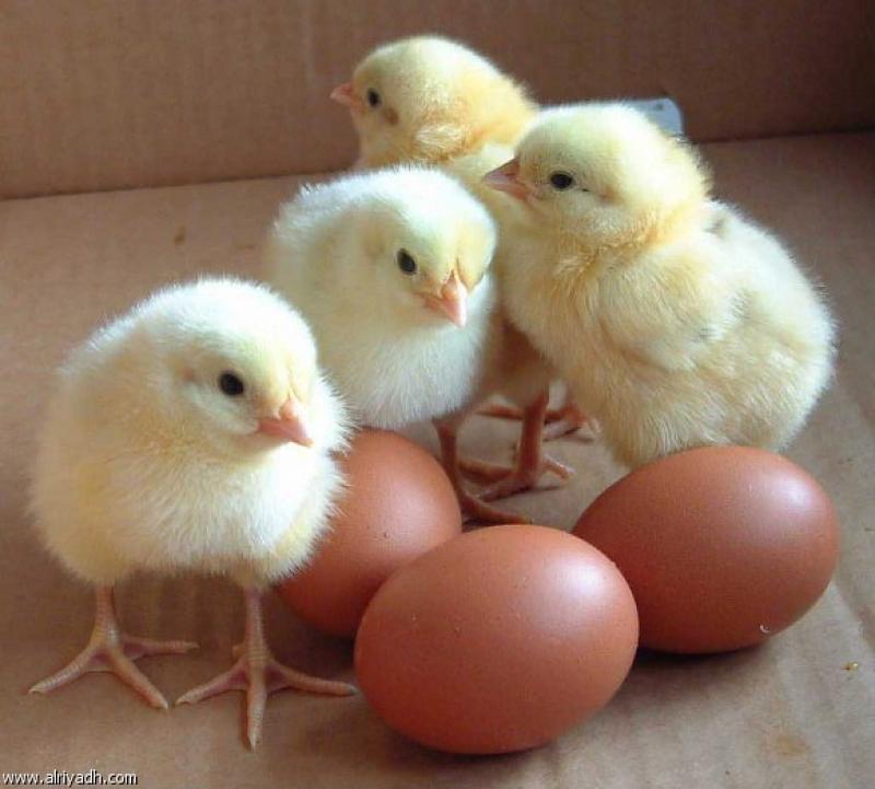 نفوق 9200 فرخ دجاج بحريق مزرعة دواجن في اربد